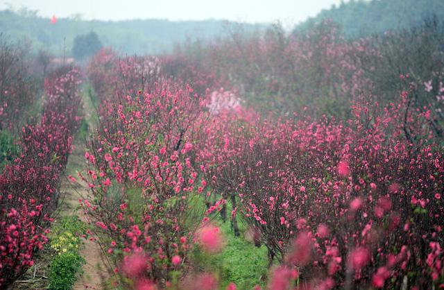 Choáng ngợp với sắc đỏ rực của vựa đào Nhật Tân dịp sát Tết - 6