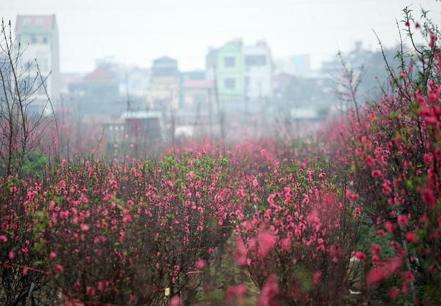 Choáng ngợp với sắc đỏ rực của vựa đào Nhật Tân dịp sát Tết - 7