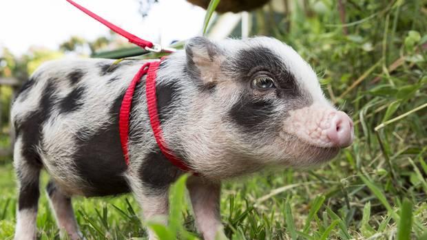 5 lý do nên nuôi lợn làm thú cưng trong nhà - 3