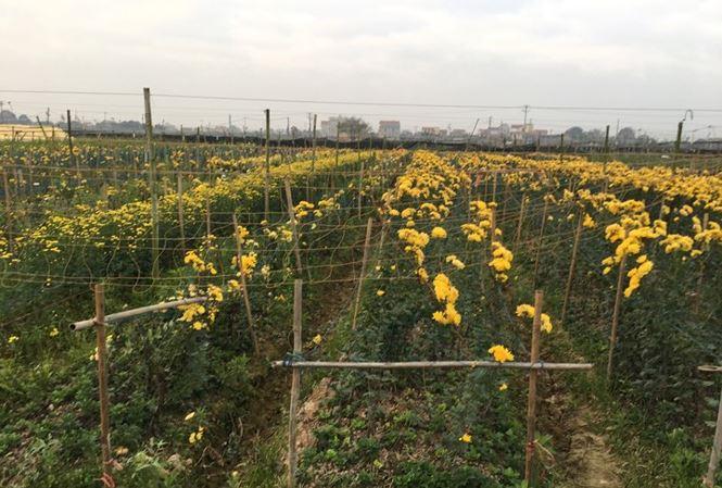 Rau xanh, hoa tươi ở Hà Nội rớt giá thê thảm sau Tết - 1