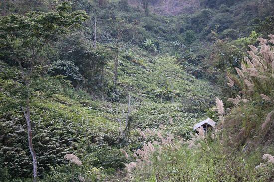 Kiếm khá tiền từ loài cây mọc rậm trong rừng, quả ra dưới gốc - 2