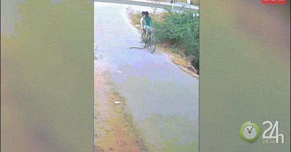 Đạp xe trên đường, hoảng loạn vì rắn hổ mang tấn công cảm tử
