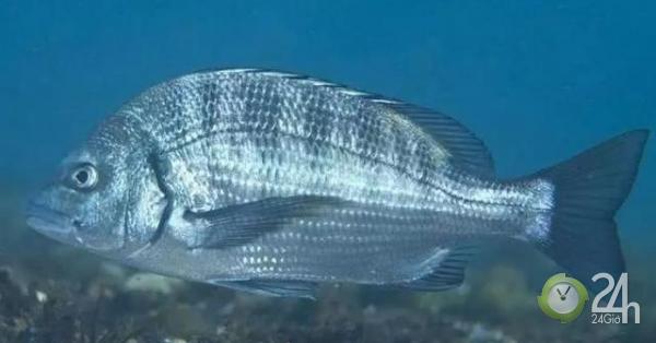 Loài cá biển có ở Việt Nam được bán với giá 1 triệu nửa kg ở Trung Quốc