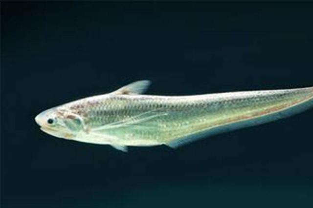 Loài cá đắt nhất Trung Quốc, phải đặt trước cả chục năm mới có thể thưởng thức được - 1