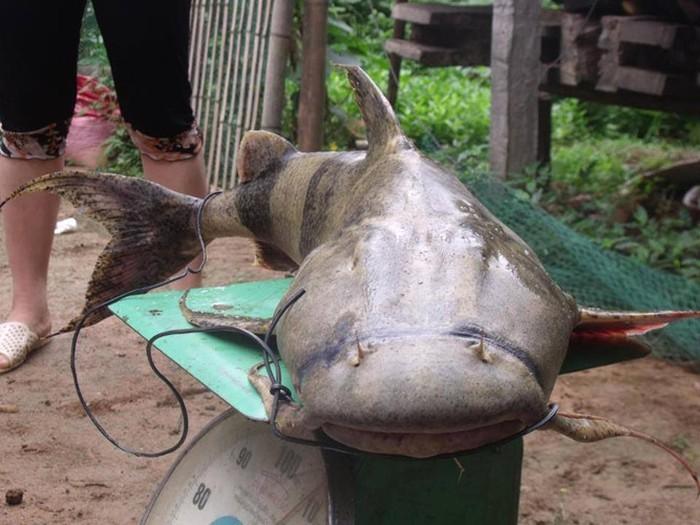 """Tứ """"độc"""" đặc sản cá cực hiếm ở miền núi, có tiền cũng khó mua - 7"""