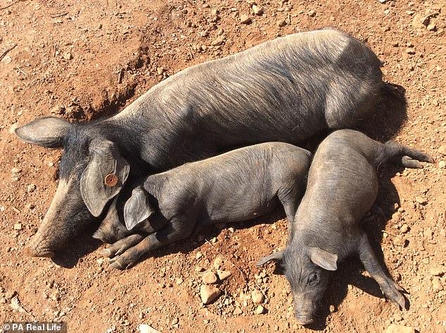 Doanh nhân rời bỏ thành phố vào rừng nuôi lợn trồng rau - 3