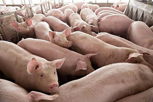 Bộ Công Thương: Giá lợn hơi giảm về mức dưới 80.000 đồng/kg - 1