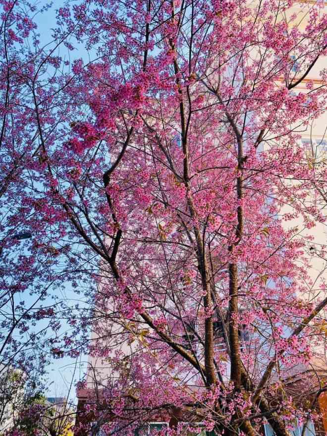Ngắm hoa mai anh đào bung sắc đón xuân mới 2020 trên khắp phố phường Đà Lạt - 1