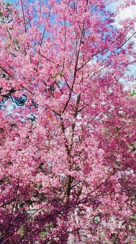Ngắm hoa mai anh đào bung sắc đón xuân mới 2020 trên khắp phố phường Đà Lạt - 2