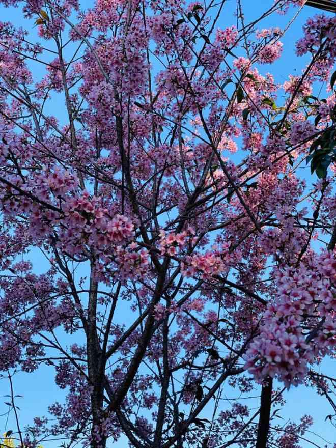 Ngắm hoa mai anh đào bung sắc đón xuân mới 2020 trên khắp phố phường Đà Lạt - 4