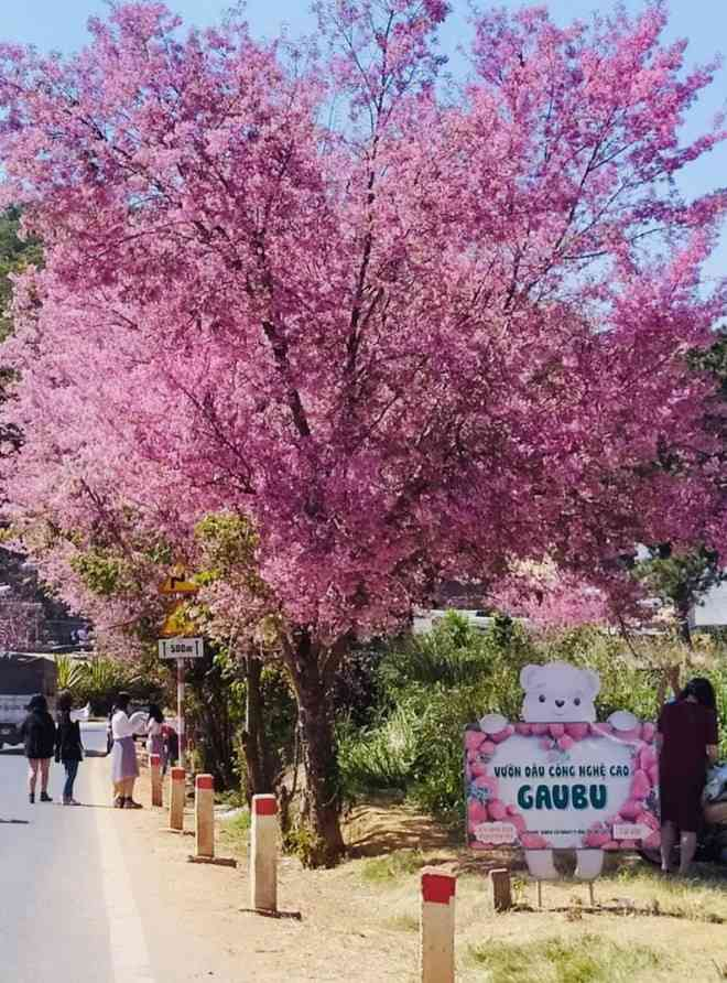 Ngắm hoa mai anh đào bung sắc đón xuân mới 2020 trên khắp phố phường Đà Lạt - 6