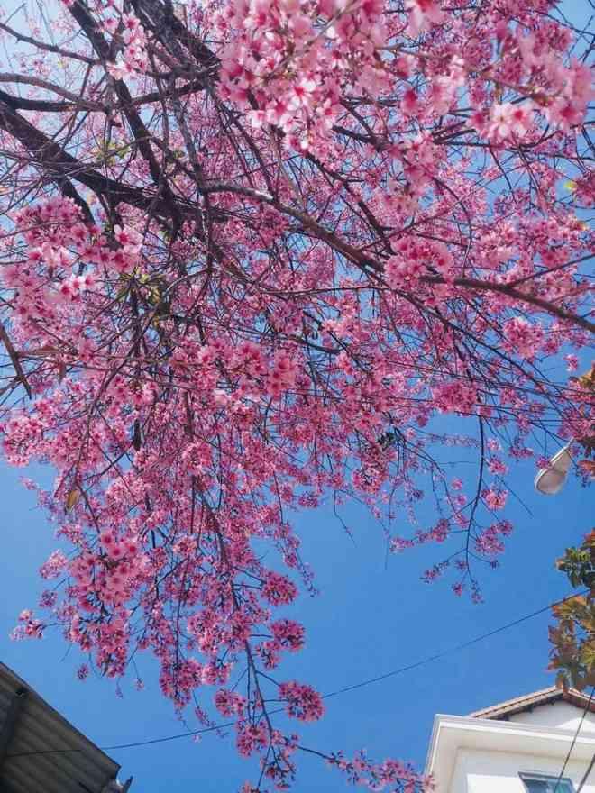 Ngắm hoa mai anh đào bung sắc đón xuân mới 2020 trên khắp phố phường Đà Lạt - 7