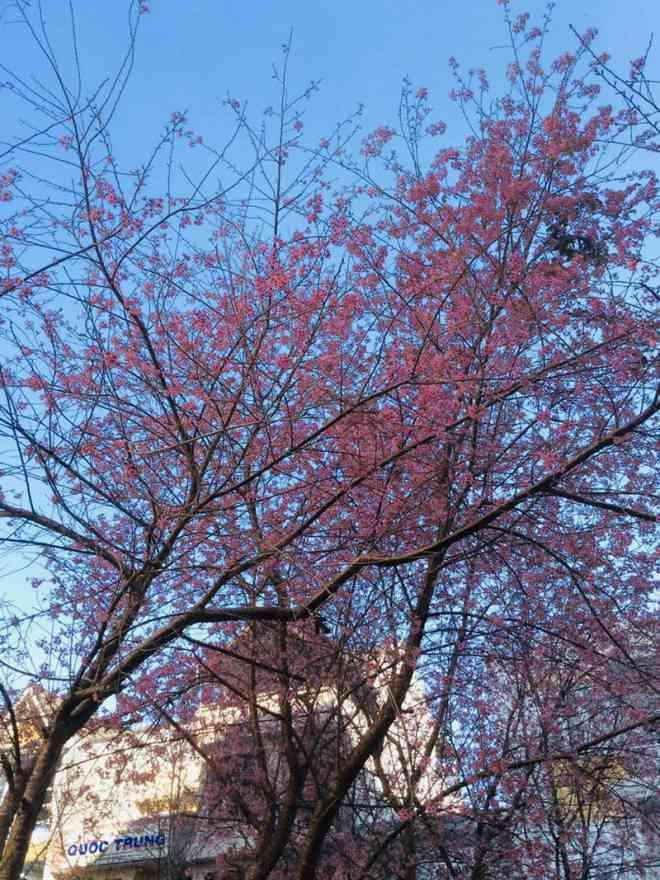 Ngắm hoa mai anh đào bung sắc đón xuân mới 2020 trên khắp phố phường Đà Lạt - 8