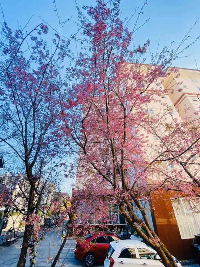 Ngắm hoa mai anh đào bung sắc đón xuân mới 2020 trên khắp phố phường Đà Lạt - 12
