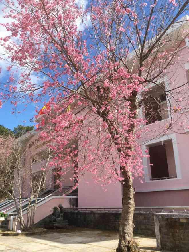 Ngắm hoa mai anh đào bung sắc đón xuân mới 2020 trên khắp phố phường Đà Lạt - 11
