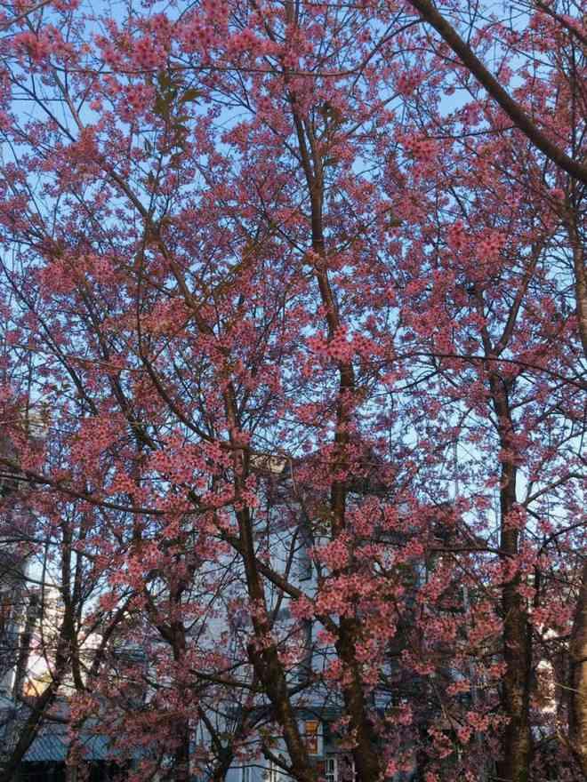 Ngắm hoa mai anh đào bung sắc đón xuân mới 2020 trên khắp phố phường Đà Lạt - 10