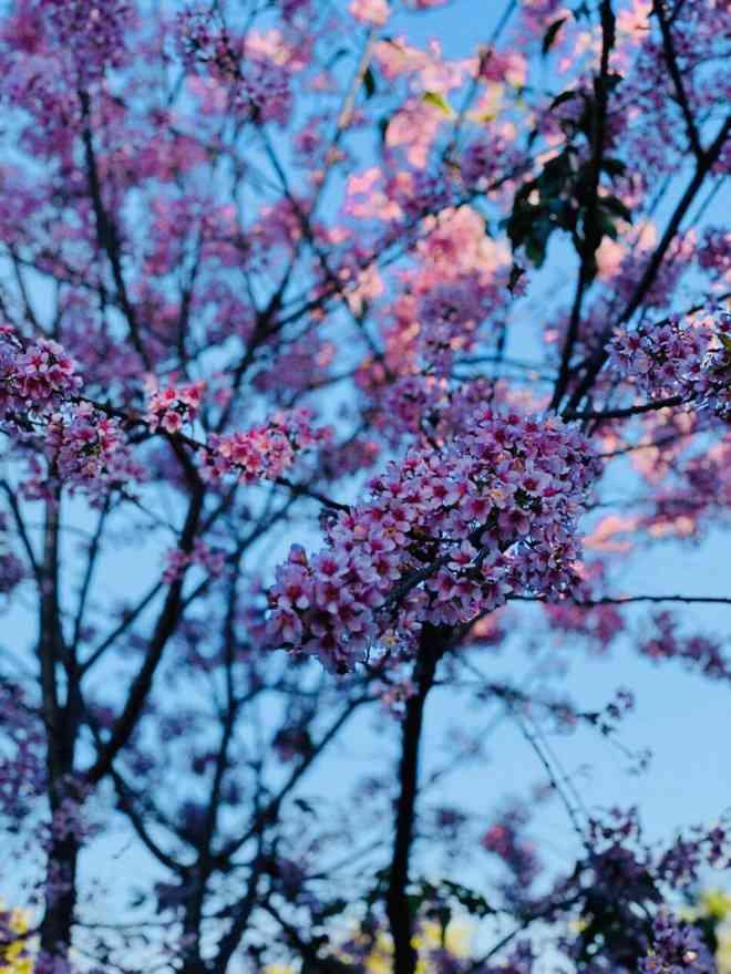 Ngắm hoa mai anh đào bung sắc đón xuân mới 2020 trên khắp phố phường Đà Lạt - 13