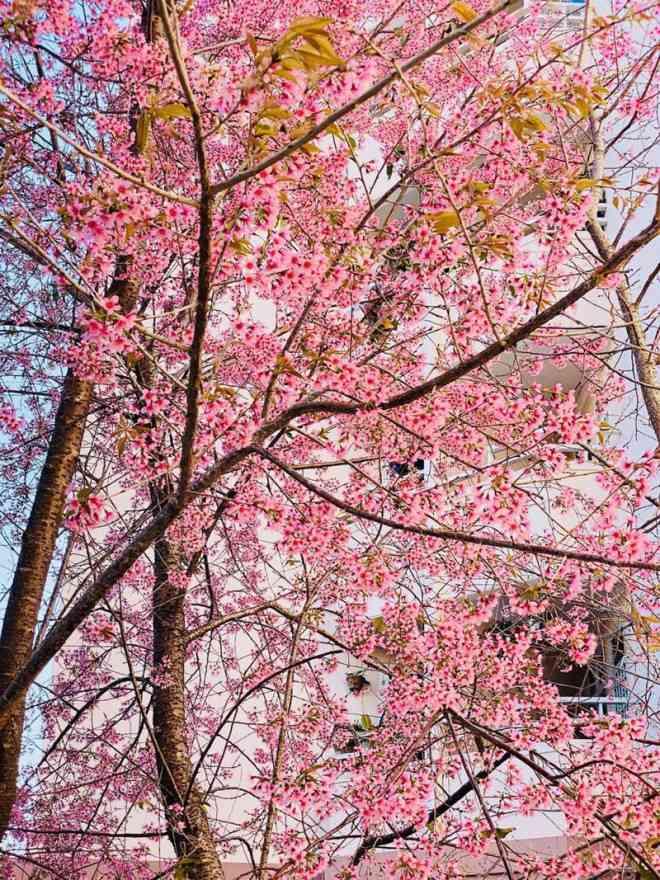 Ngắm hoa mai anh đào bung sắc đón xuân mới 2020 trên khắp phố phường Đà Lạt - 14