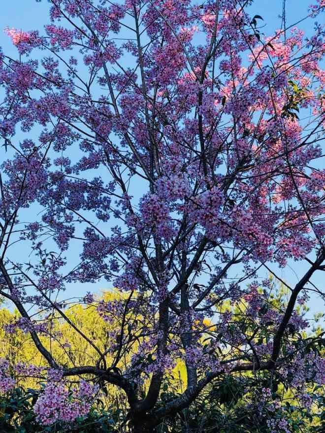 Ngắm hoa mai anh đào bung sắc đón xuân mới 2020 trên khắp phố phường Đà Lạt - 15