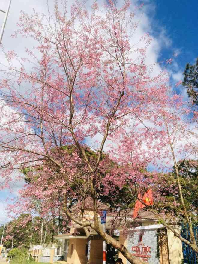 Ngắm hoa mai anh đào bung sắc đón xuân mới 2020 trên khắp phố phường Đà Lạt - 17