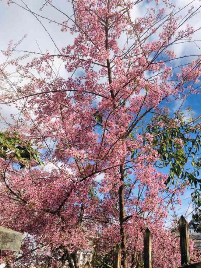 Ngắm hoa mai anh đào bung sắc đón xuân mới 2020 trên khắp phố phường Đà Lạt - 20