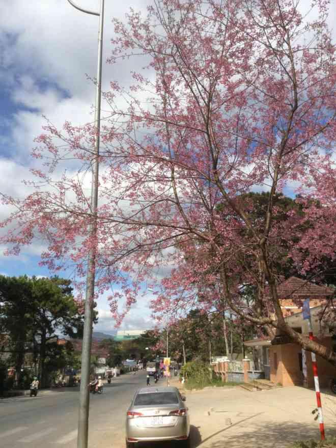 Ngắm hoa mai anh đào bung sắc đón xuân mới 2020 trên khắp phố phường Đà Lạt - 21
