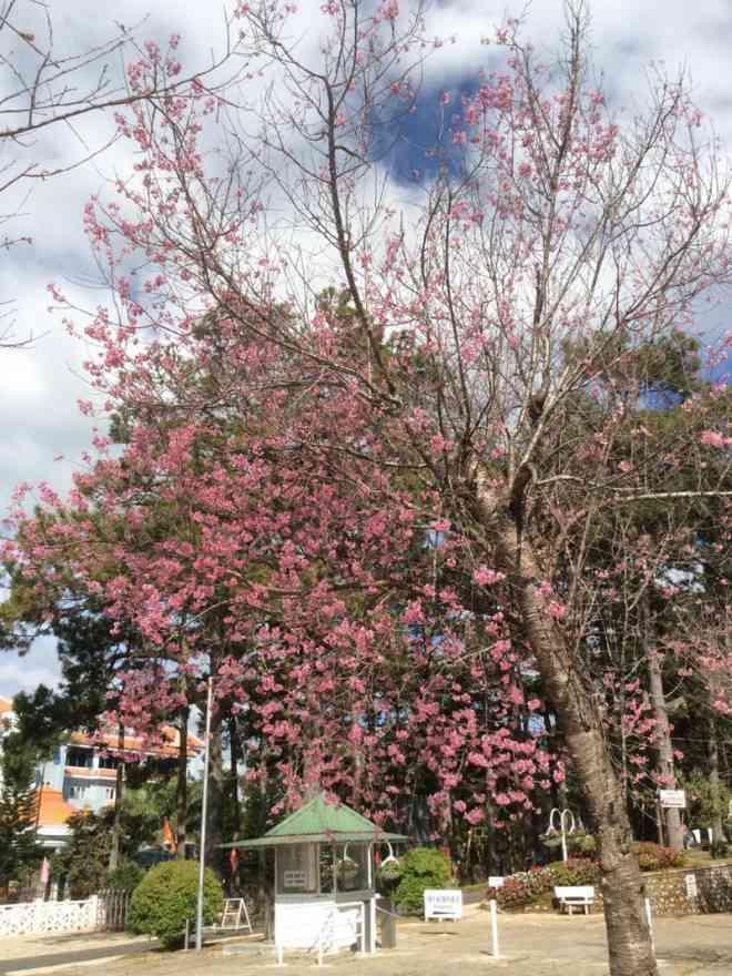 Ngắm hoa mai anh đào bung sắc đón xuân mới 2020 trên khắp phố phường Đà Lạt - 23