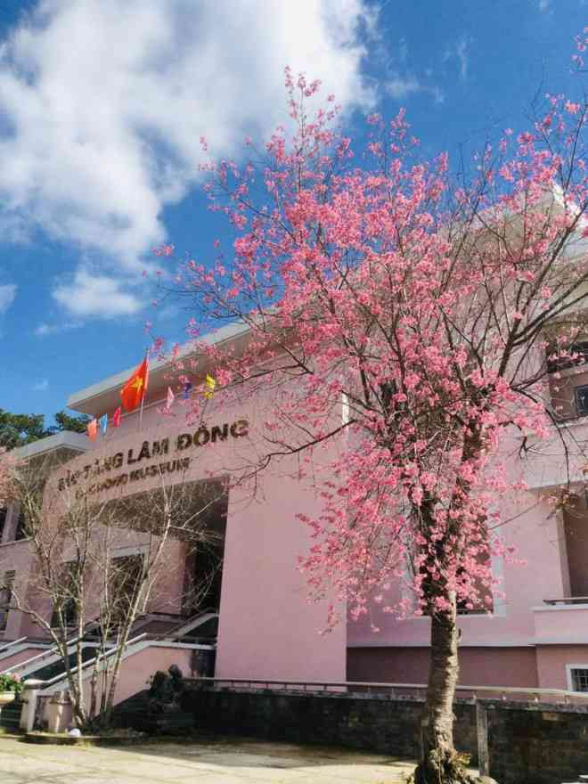 Ngắm hoa mai anh đào bung sắc đón xuân mới 2020 trên khắp phố phường Đà Lạt - 24
