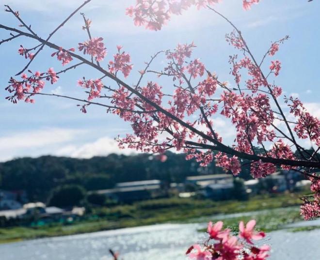 Ngắm hoa mai anh đào bung sắc đón xuân mới 2020 trên khắp phố phường Đà Lạt - 25