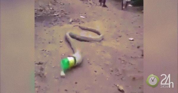 Video: Rắn hổ mang vật lộn nôn ra cả một chai nhựa gây ám ảnh