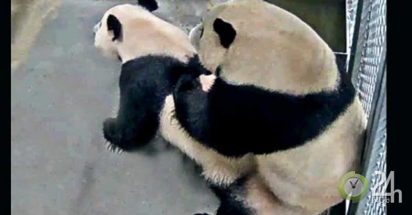 Sở thú Hà Lan phát cảnh gấu trúc khổng lồ làm chuyện ấy cho cả thế giới xem