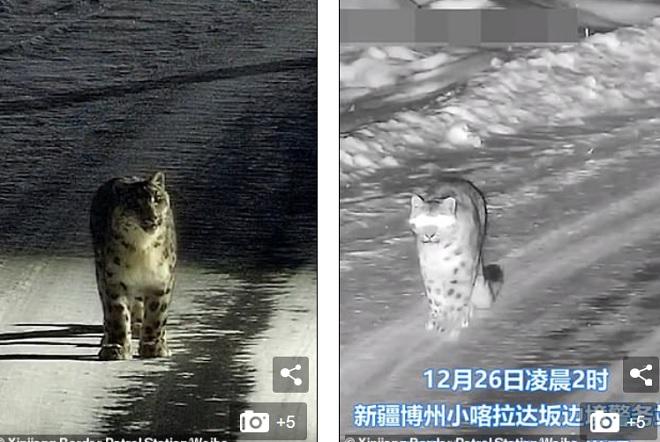 Video: Báo tuyết quý hiếm bình thản đi dạo quanh thị trấn ở Trung Quốc - hình ảnh 1