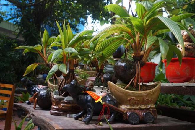 Độc đáo bonsai dừa tạo hình con trâu đón Tết Tân Sửu 2021 - 4