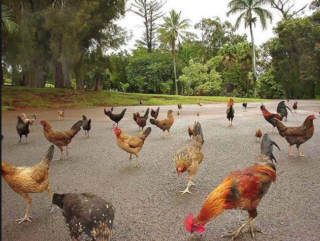 Hòn đảo kỳ lạ, đi đâu cũng thấy gà, từ bãi biển tới sân bay - hình ảnh 1