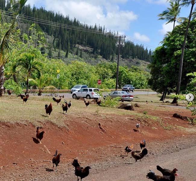 Hòn đảo kỳ lạ, đi đâu cũng thấy gà, từ bãi biển tới sân bay - hình ảnh 2