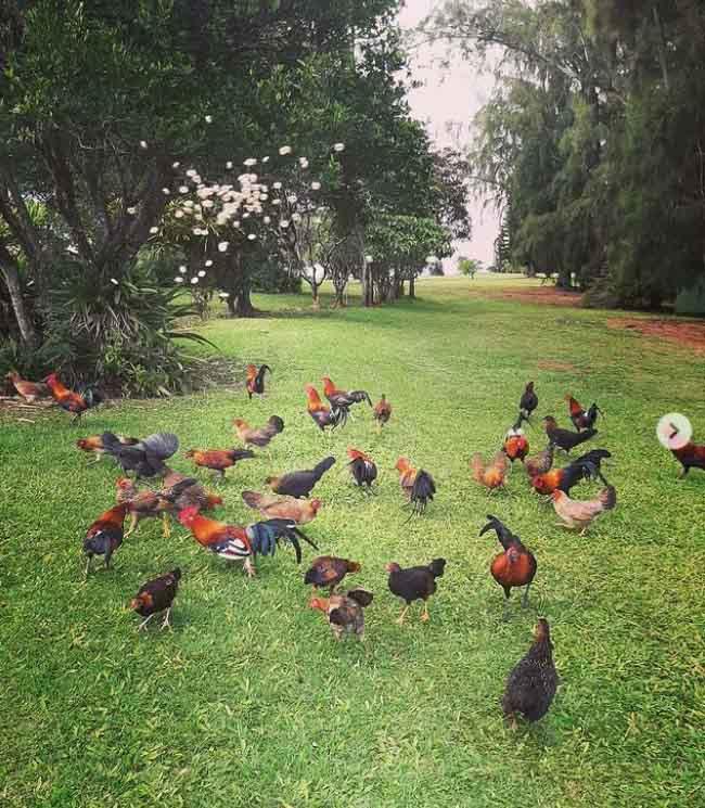 Hòn đảo kỳ lạ, đi đâu cũng thấy gà, từ bãi biển tới sân bay - hình ảnh 4