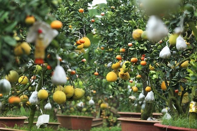 """Vườn cây bạc tỷ """"Thập toàn thập mỹ"""" của lão nông hút khách mỗi dịp Tết về - 6"""