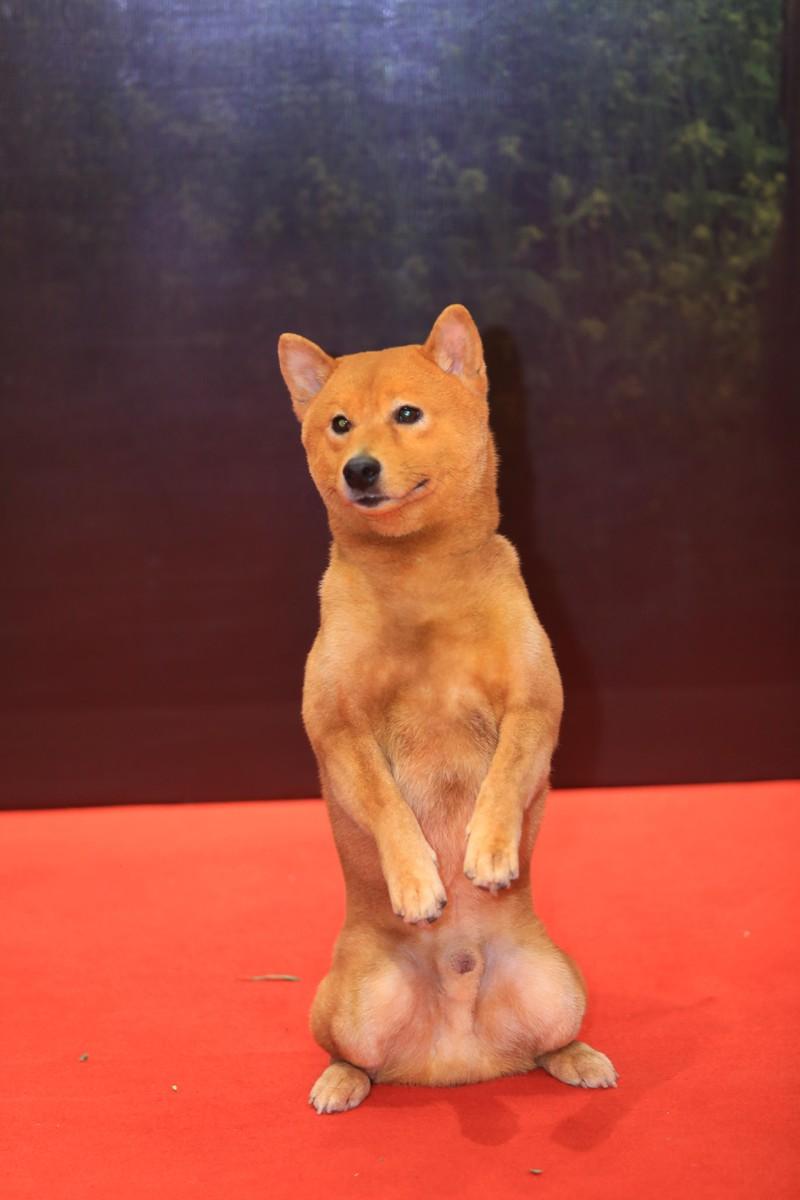 """Chó Shiba đóng Cậu Vàng bị """"tẩy chay"""", khán giả gọi tên những chú """"chó cỏ"""" này - hình ảnh 1"""