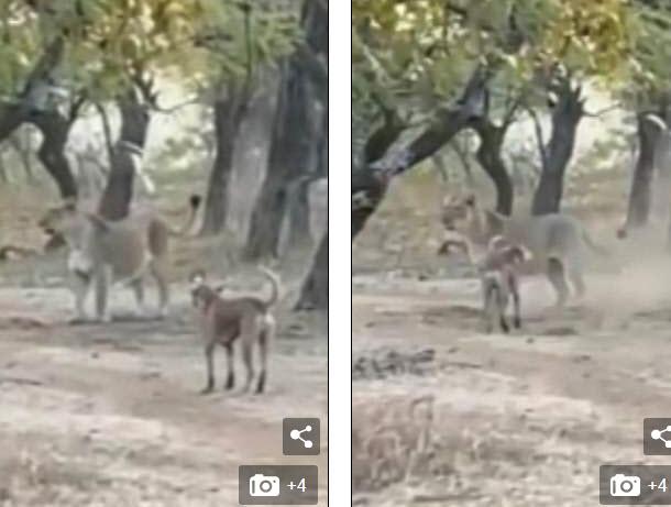 """Video: Chú chó """"không biết trời cao đất dày"""", kịch chiến với sư tử cái to lớn gấp đôi - 1"""