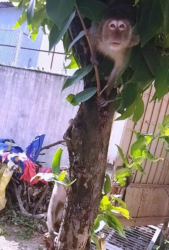 Bắn thuốc mê di dời đàn khỉ trong khu dân cư ở Sài Gòn - hình ảnh 1