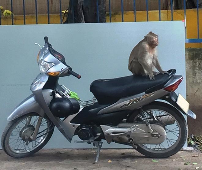 Bắn thuốc mê di dời đàn khỉ trong khu dân cư ở Sài Gòn - hình ảnh 2