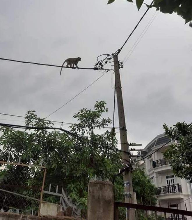 Bắn thuốc mê di dời đàn khỉ trong khu dân cư ở Sài Gòn - hình ảnh 3
