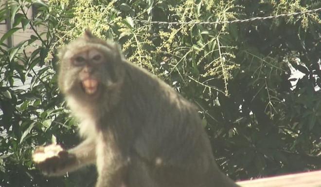 Cận cảnh đàn khỉ hơn 10 con trước khi bị bắn thuốc mê - 3