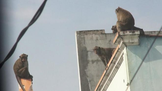Cận cảnh đàn khỉ hơn 10 con trước khi bị bắn thuốc mê - 2