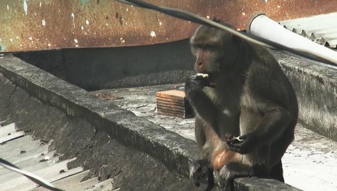 Cận cảnh đàn khỉ hơn 10 con trước khi bị bắn thuốc mê - 4