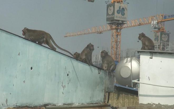 Cận cảnh đàn khỉ hơn 10 con trước khi bị bắn thuốc mê - 1