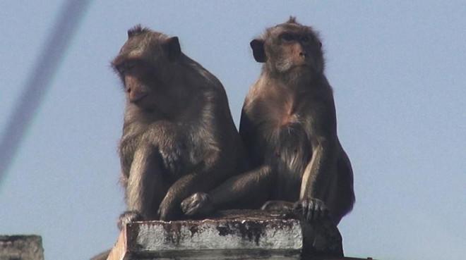 Cận cảnh đàn khỉ hơn 10 con trước khi bị bắn thuốc mê - 8