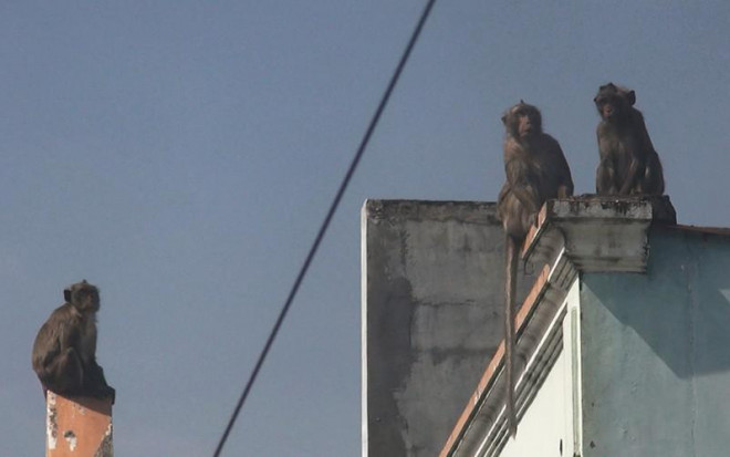 Cận cảnh đàn khỉ hơn 10 con trước khi bị bắn thuốc mê - 7