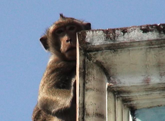 Cận cảnh đàn khỉ hơn 10 con trước khi bị bắn thuốc mê - 5