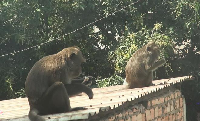Cận cảnh đàn khỉ hơn 10 con trước khi bị bắn thuốc mê - 14